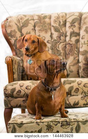 Dachshund breed puppy wiener dog pet cute sad eyes