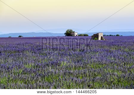 Lavender fields near Valensole in Provence France