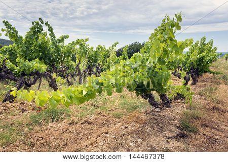 Vineyard in Var (Provence-Alpes-Cote d'Azur France) at summer