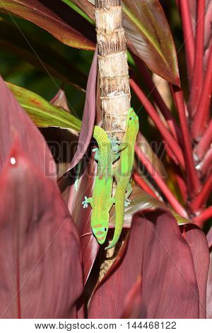 two gold dust day geckos in a race on a tree in a garden in Hawaii