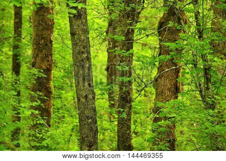 a picture of an exterior Pacific Northwest forest with Vine maple trees