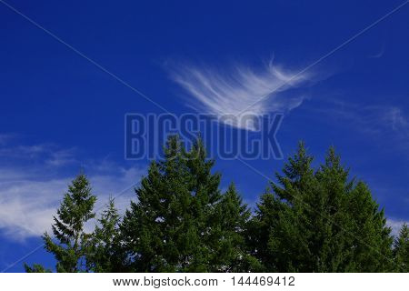 a picture of an exterior Pacific Northwest Douglas fir trees with a blue sky and cirrus clouds