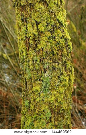 a picture of an exterior Pacific Northwest forest with a mossy Pacific willow tree trunk willow tree