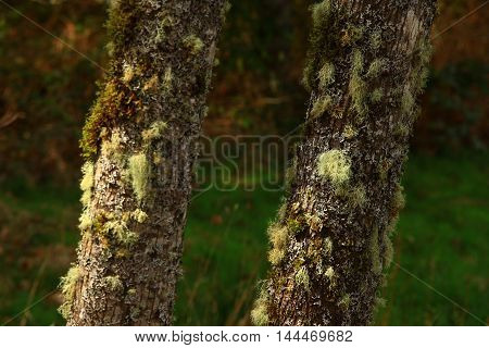 a picture of an exterior Pacific Northwest mossy Vine maple trees with lichens