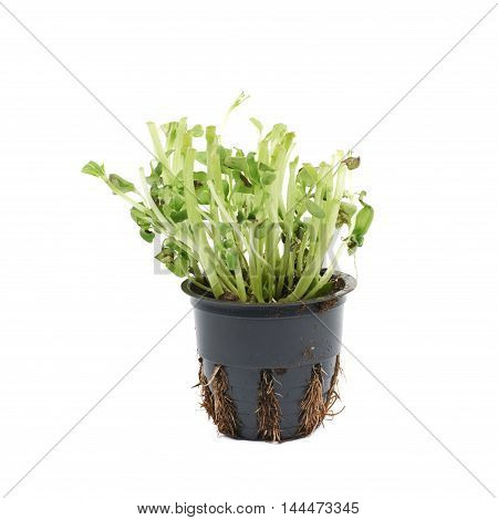 Fresh basil plant in a pot with a most of its leaves taken of it, composition isolated over the white background