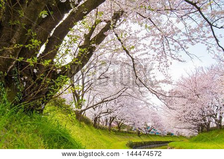 Cherry bloom on the banks of the spring.