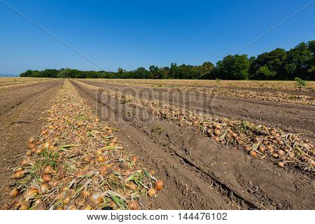Field At Harvest Onions