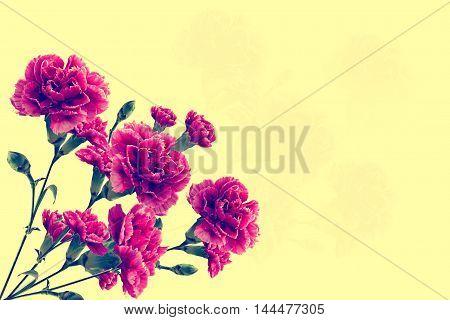 colorful bright carnation flowers isolated on a yellow background
