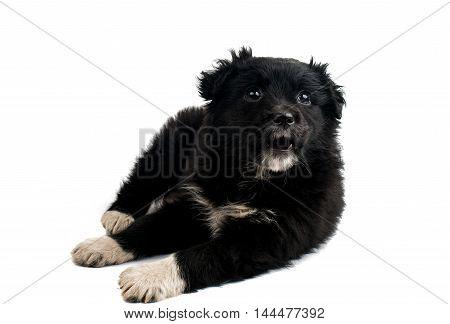 puppy Black dog isolated on white background