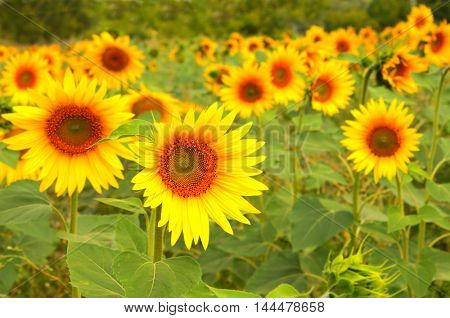 Bright yellow sunflowers on blurred green background