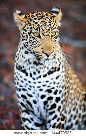 Young male leopard  in evening light in South Africa