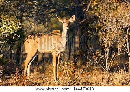 Young female kudu antelopes in safari park in South Africa