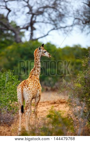 Baby giraffe in safari park in South Africa