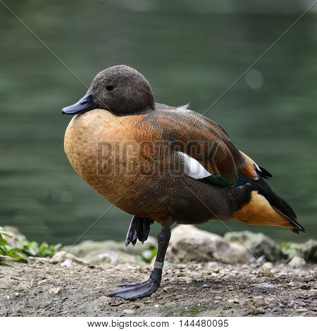 Vibrant Portrait Of South African Shelduck In Pond Landscape