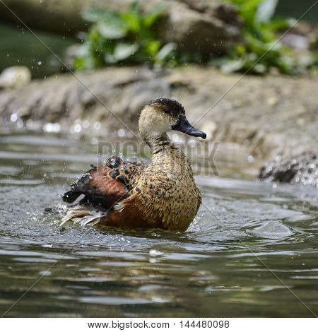 Young Wandering Whistling Duck Chick Cleaning Itself In Pond Flapping Wings With Water Splashes