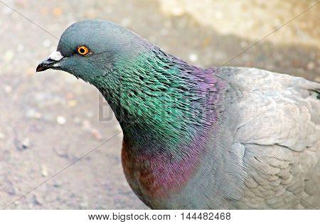 Feral pigeon (Columba livia domestica) - close up