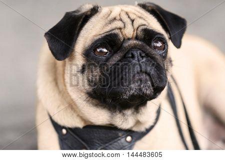 Pug dog , close up
