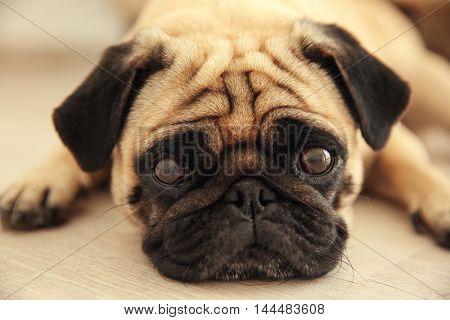 Pug dog lying on a wooden floor