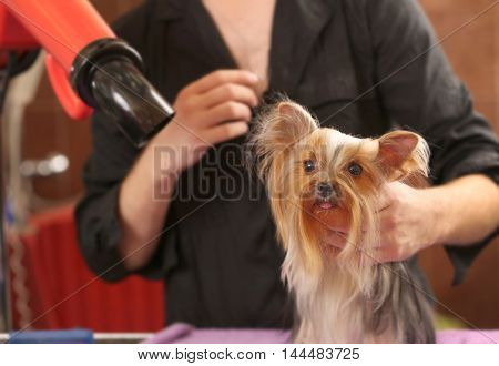 Canine hairdresser with Yorkshire dog in salon