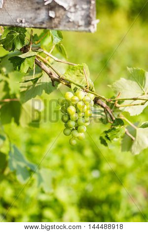 Cluster of fresh green grape with leaves in the garden ready to be harvested, selective focus