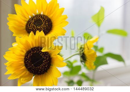 Sunflowers in the vase on the window