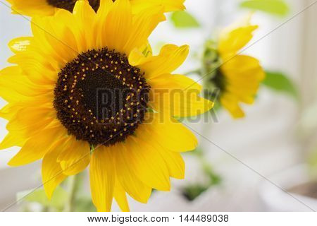 Single sunflower in vase on the window
