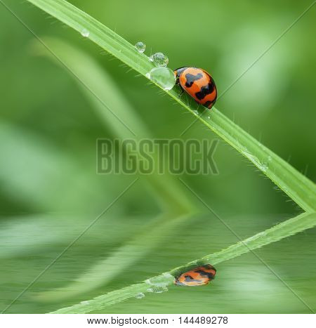 Morning dew on a green grass leaf and little ladybug with in water reflection