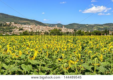 Spello (Umbria Italy) and sunflowers field landscape