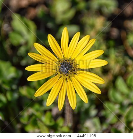 African Arctotheca calendula flower in Southern Africa