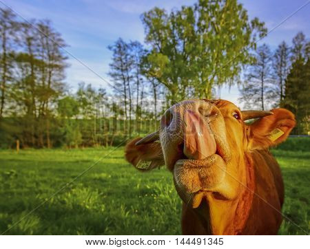 Calf with tongue out - Funny image with a young bull which sticks out its large tongue.