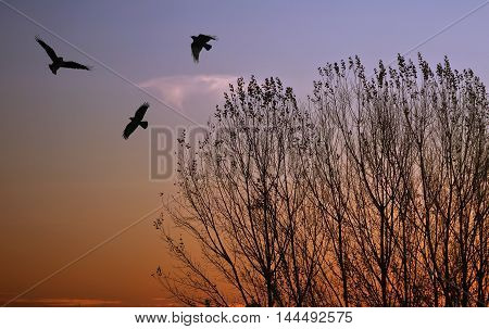 Silhouette of a crows (Corvus brachyrhynchos) flying against sunset