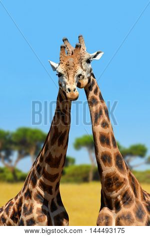 The head of the giraffes
