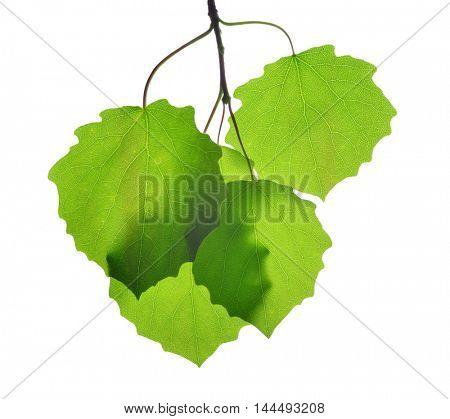 Fresh green spring leaves of aspen isolated on white background.