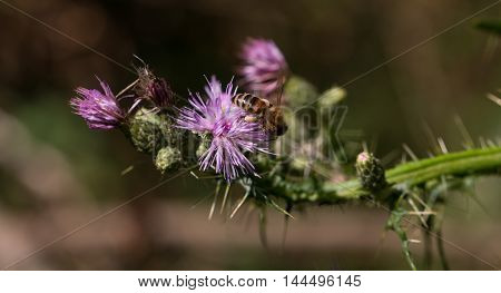 Bee Collects Pollen From Purple Flower