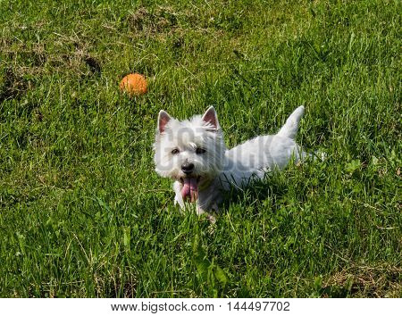 walking happy west highland white terrier on the grass