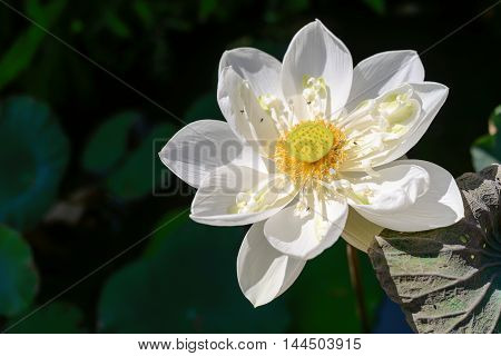A beautiful white lotus flower in pond
