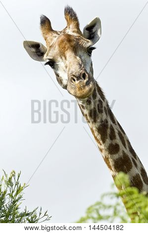Inquisitive giraffe looking over some bushes at the camera on a warm day