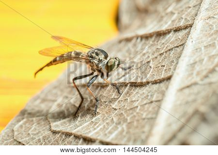 A Robberfly (Asilidae) on dried leaf on yellow background.