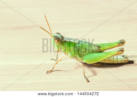 a green grasshopper on wooden plank background.