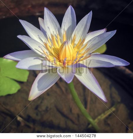 Beautiful tropical single water lily lotus in light violet.