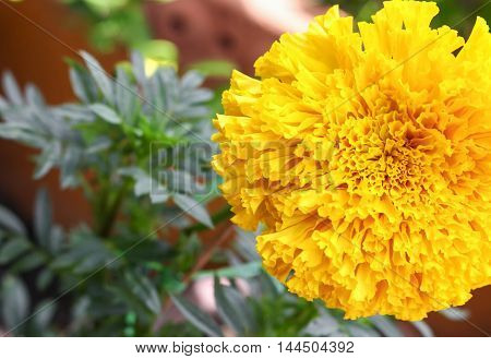 Marigold yellow flowers. Beautiful Marigold india flower in the garden close up