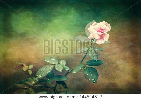 Close up pink rose on vintage paper texture theme. Copy space.