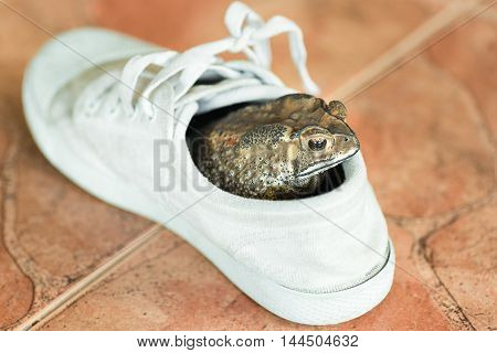 A brown toad hiding in white shoe.