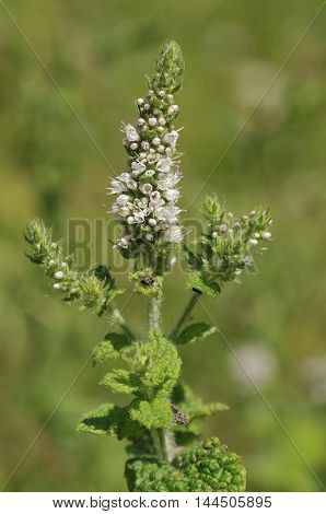 Round-leaved Mint - Mentha suaveolens Tall Aromatic Herb