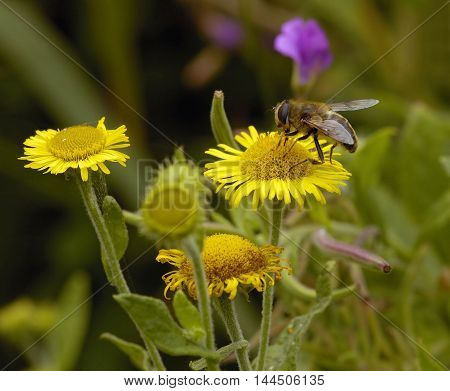 Hoverfly on Common or Meadow False Fleabane - Pulicaria dysenterica