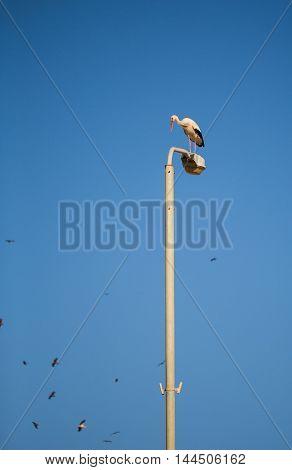 Stork bird sitting on an electric lamp