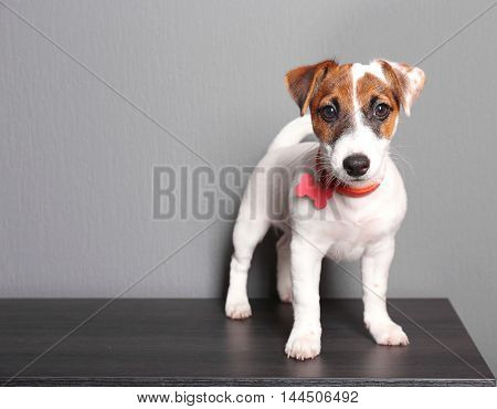 Cute small dog Jack Russell terrier on dark background