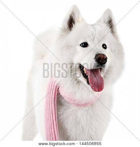 Fluffy samoyed dog wearing pink scarf isolated on white