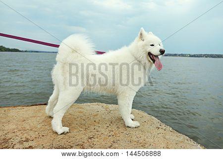 Fluffy samoyed dog on river bank