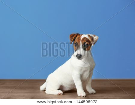 Jack Russell terrier on blue background